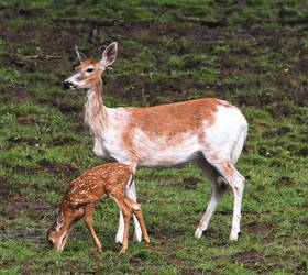 Piebald Doe with Fawn