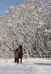 Bay Stallion in White