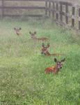 Deer Nap in Clover