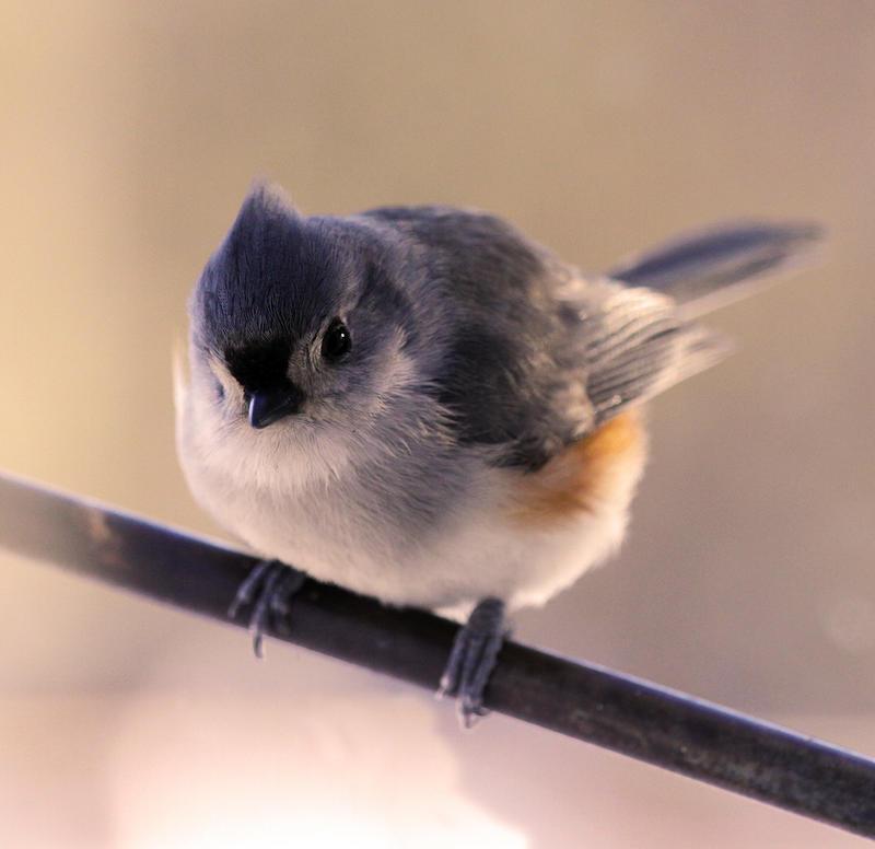 Fluffy Winter Bird by tidesend