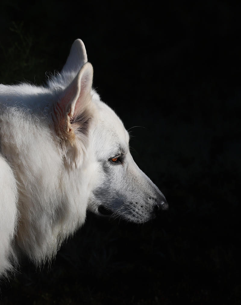 White Swiss Sheppherd