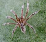 Misty Spider