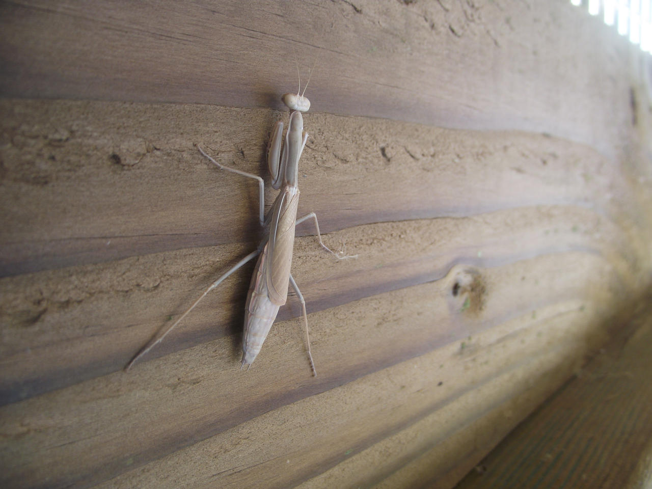 Mantis on the Boardwalk by Armadeo