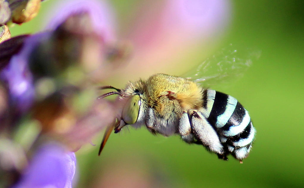 Blue Banded Bee on sage. by wolftraz