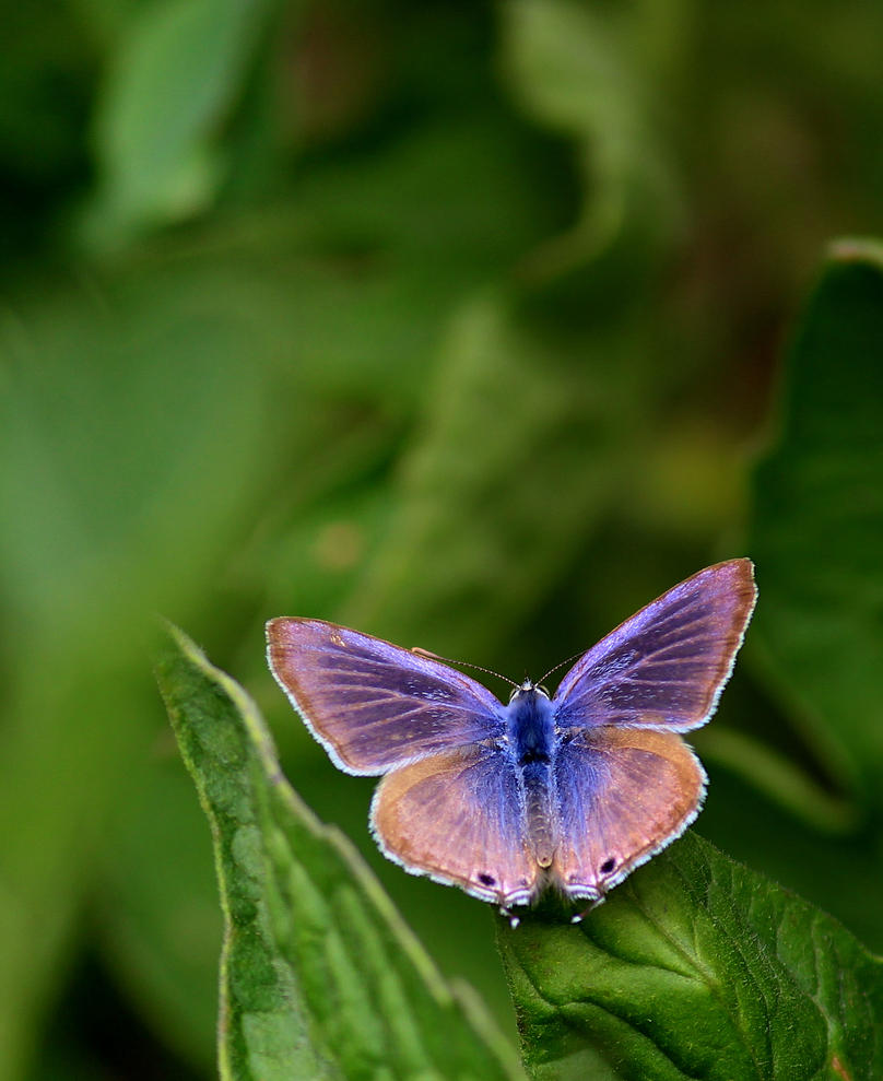 Common Blue Butterfly by wolftraz