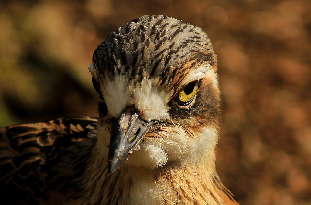 Bush Stone-curlew by wolftraz