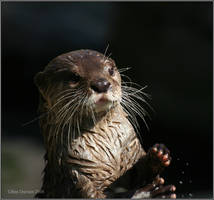 Otter by CoupeKid