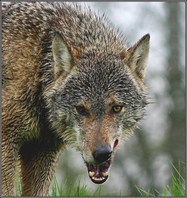 Art the lick wolf