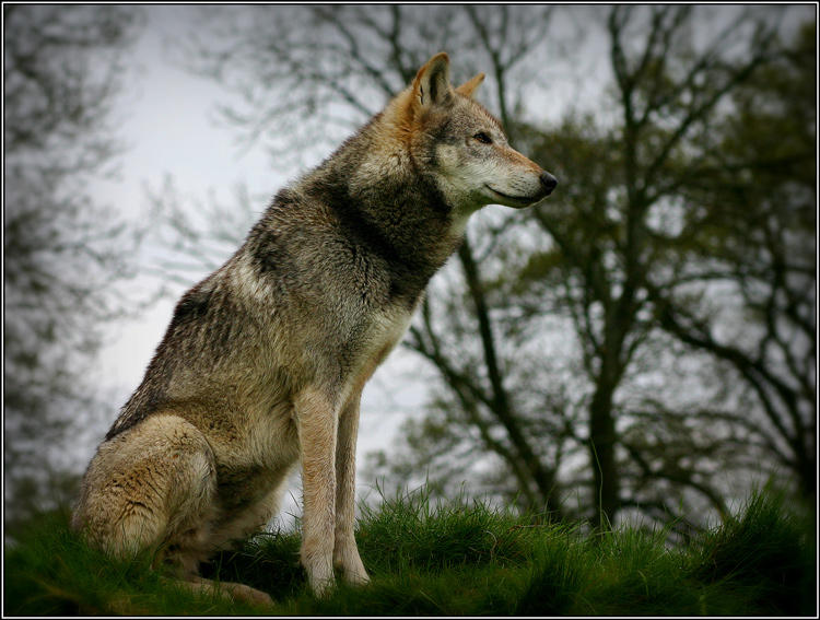 Wolf sitting down side view - photo#1