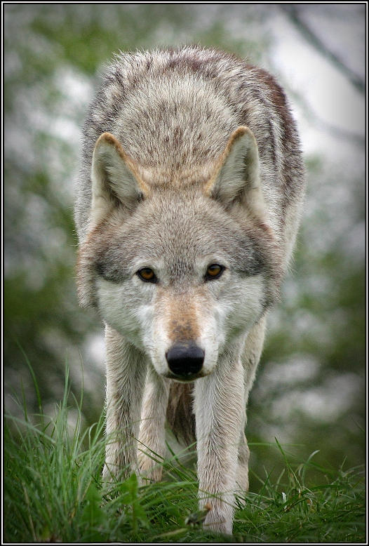 Wolf Prowling