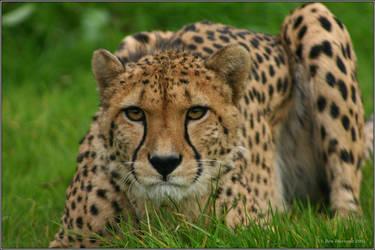 Cheetah 2 by CoupeKid