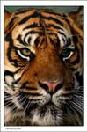 Tiger....again
