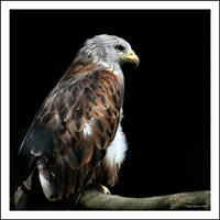 Lonely Red Kite by CoupeKid