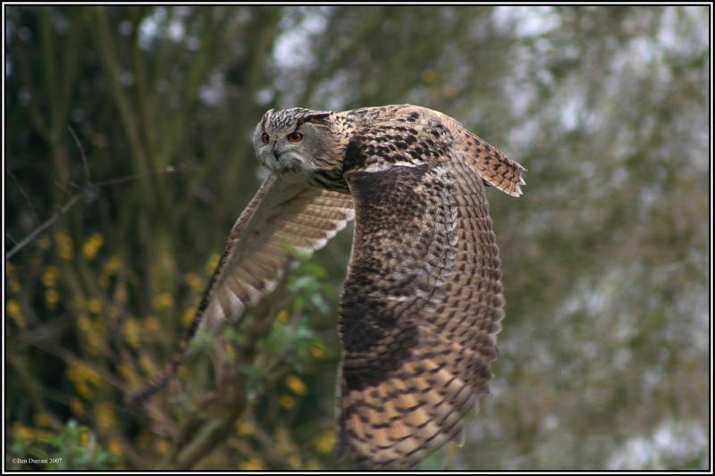 Eurasian Eagle Owl by CoupeKid