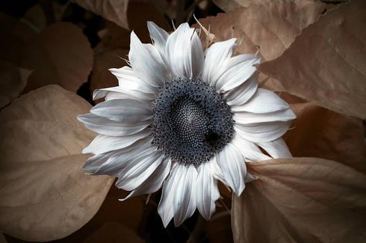 Albino Sunflower
