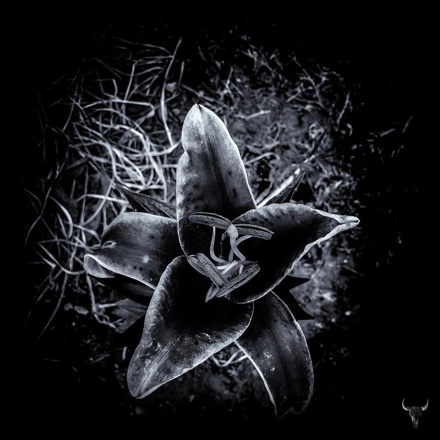 black lily by vw1956