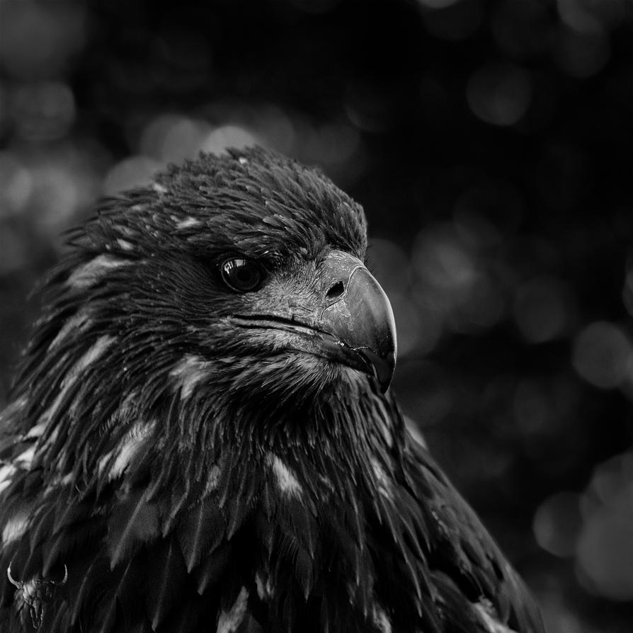 eagle by vw1956