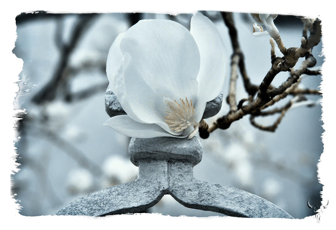 magnolia. by vw1956