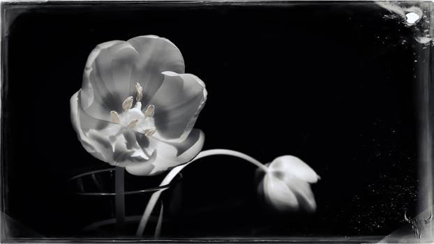 Birthday tulip