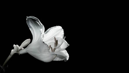 lily XVI by vw1956