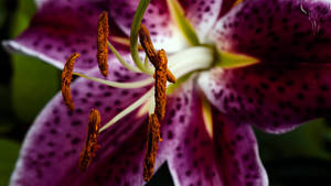 lily. by vw1956