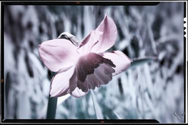strange daffodil by vw1956