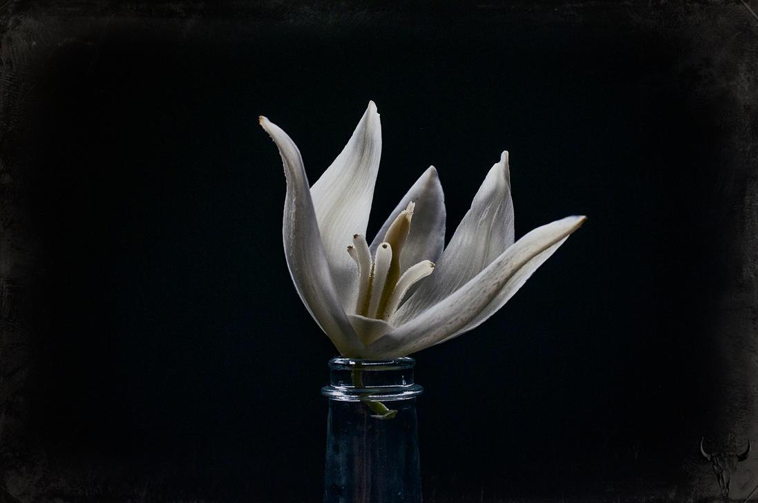yucca filamentosa by vw1956