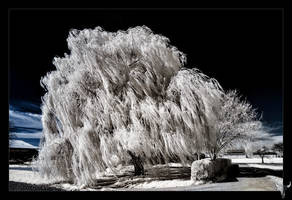 weeping willow by vw1956