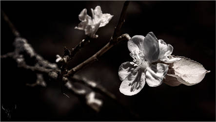apple blossom by vw1956