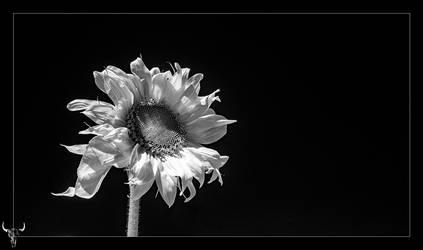 anniversary flower by vw1956