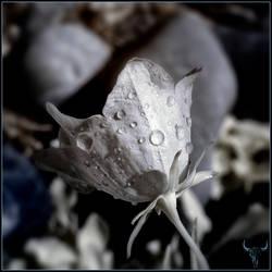 tears. by vw1956