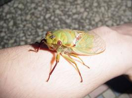 cicada the cat dragged in 2 by zenkatydid
