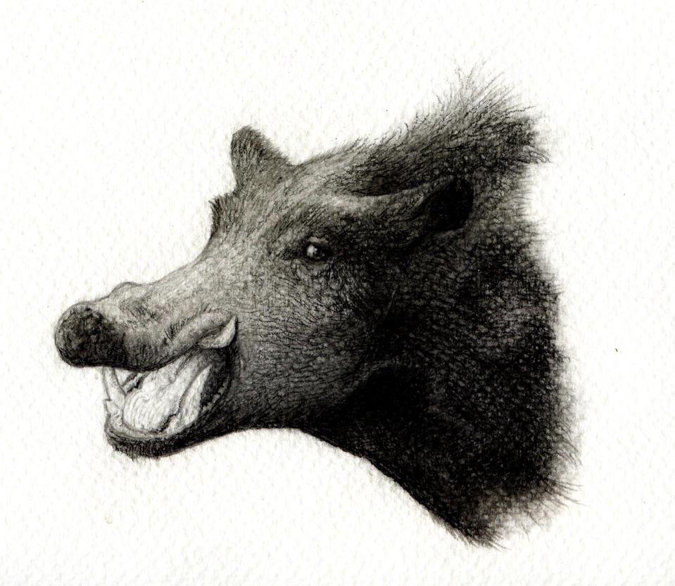 Wild Boar Sketch Wild boar by titanslicerWild Boar Sketch