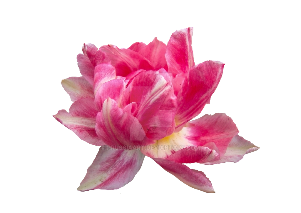 Peony Flower On A Transparent Background By PRUSSIAART