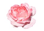 Flower of pink roses. PNG
