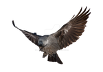 Raven in flight on a transparent background.