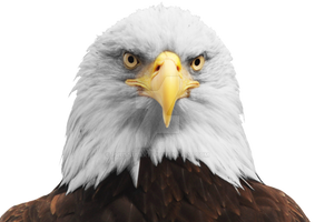 The head of an eagle on a transparent background. by PRUSSIAART