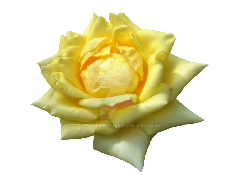 Flower Of Yellow Roses On A Transparent Background By PRUSSIAART