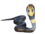 Cobra on an isolated, transparent background.