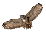 Flying owl on a transparent background.