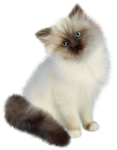 Siamese cat on a transparent background.