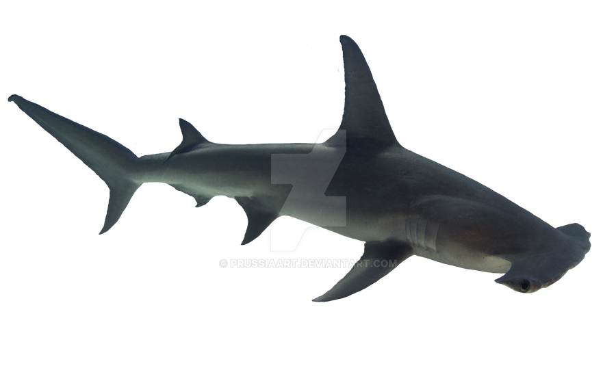 Shark, fish hammer on a transparent background. by ...
