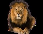 Predator lion on a transparent background.