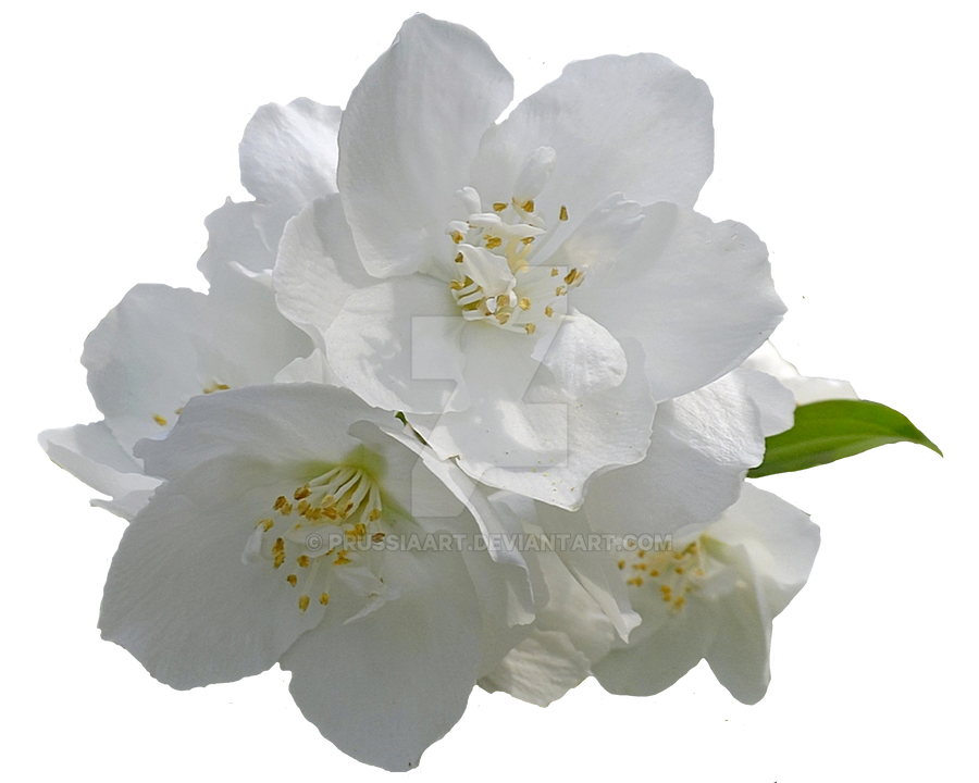 Jasmine flowers on a transparent background. by PRUSSIAART on DeviantArt