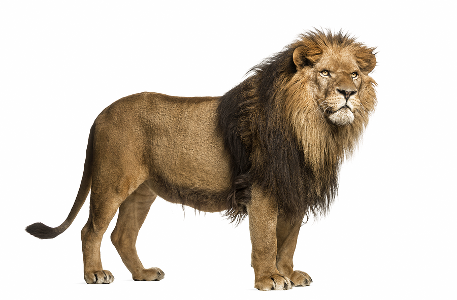 Adult Lion On A Transparent Background By PRUSSIAART On