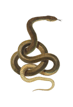 Snake pattern on a transparent background.