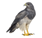 Eagle on a transparent background.