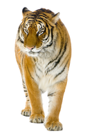 Tiger on a transparent background. by PRUSSIAART