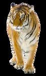 Tiger on a transparent background.