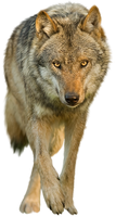Wolf on a transparent background. by PRUSSIAART